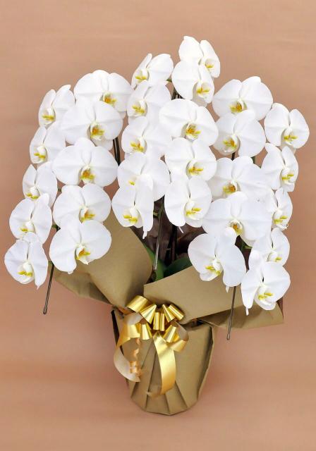 胡蝶蘭3本立ち レギュラーサイズ 白