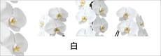 胡蝶蘭専門店ギフトフラワー白
