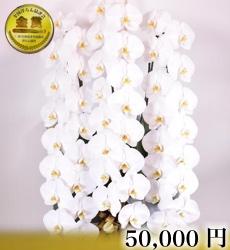 胡蝶蘭3本立ち60輪