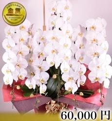 胡蝶蘭5本立ち60輪