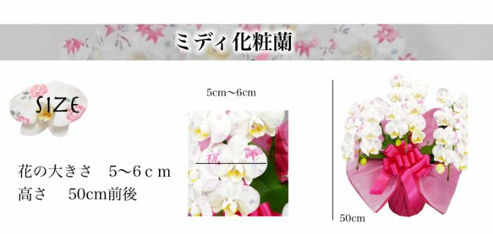化粧蘭のサイズ