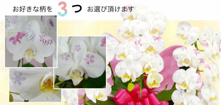 化粧蘭の柄1
