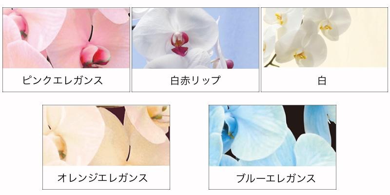 エレガンス胡蝶蘭色種類ピンク白赤リップ白大輪オレンジブルーエレガンス
